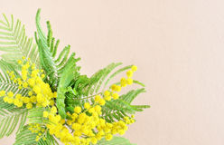 Mimose flower branch Royalty Free Stock Photography