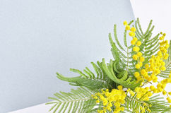 Mimose flower branch Royalty Free Stock Photo