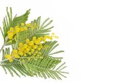 Mimose flower branch Stock Photos