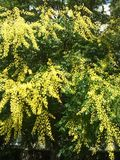Mimose gialle Immagini Stock