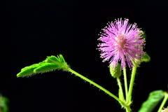 Mimose Stock Photo