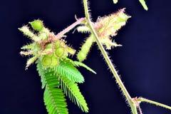 Mimose Stock Image
