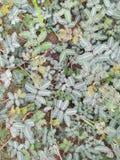 Mimose pudica aus den Grund stockfotos
