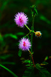 Mimose pudica Köpfchen Stockfotografie