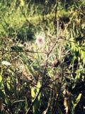 Mimose pudica oder schüchterne Anlage Lizenzfreies Stockbild