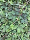 Mimose pudica oder Schamhafte Sinnpflanze oder schläfrige Anlagen- oder schüchterneanlage stockbilder