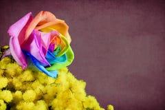 Mimose und mehrfarbiges stiegen Lizenzfreie Stockfotografie