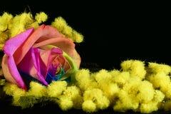 Mimose und mehrfarbiges stiegen Stockbilder