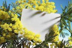 Mimoseblumen mit unbelegter Karte Stockfotografie