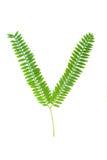 Mimosen-Blätter Stockfoto
