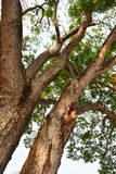 Mimosenbaum Lizenzfreie Stockbilder