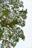 Mimosenbaum Stockfoto
