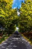 Mimosenbaumtunnel auf dem Weg Straße wächst Mimose und Akazie in b Stockfoto