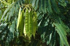 Mimosenblätter und Samentöpfe Stockfotos