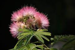 Mimosenblüte auf schwarzem Hintergrund Lizenzfreie Stockfotografie