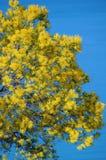 Mimosenblumen in der Blüte Lizenzfreies Stockfoto