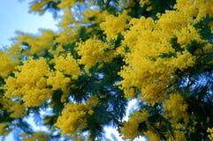 Mimosenblumen in der Blüte Lizenzfreie Stockfotos