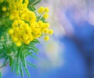 Mimosenniederlassung im Frühjahr Lizenzfreie Stockfotografie