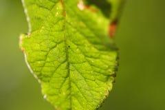 Mimosifolia Fotografia de Stock