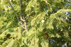 Mimosifolia del Jacaranda, jacaranda, jacaranda azul Fotos de archivo libres de regalías