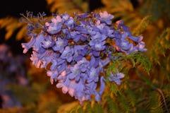 Mimosifolia do Jacaranda Imagens de Stock