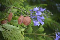 Mimosifolia do Jacaranda - fruto e flores Fotos de Stock