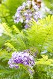Mimosifolia Jacaranda красивый субтропический уроженец дерева к Стоковое Изображение