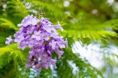 Mimosifolia Jacaranda красивый субтропический уроженец дерева к стоковые изображения rf