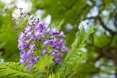 Mimosifolia Jacaranda красивый субтропический уроженец дерева к стоковые фотографии rf