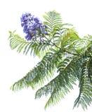 Mimosifolia van Jacaranda Stock Fotografie