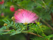 Mimosoideae Royalty Free Stock Image
