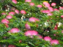 Mimosoideae Stock Image