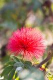 Mimosoideae de candolle Stock Image