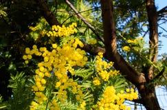Mimoz gałąź z koloru żółtego niebieskim niebem i kwiatami Południowi Francja wakacje nadchodzącej wiosny Wczesny kwiat fotografia royalty free