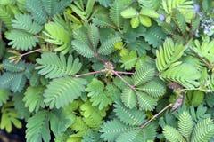 Mimoz pudica wyczulona roślina Fotografia Stock