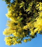 mimoza Fotografia Stock
