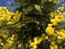 Mimoza i pszczo?y obraz royalty free