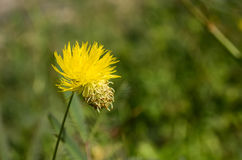 Mimoza koloru żółtego kwiaty Zdjęcia Royalty Free