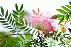Mimoza kwiat Zdjęcia Stock