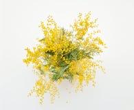 mimoza kwiat na białym tle Obrazy Royalty Free