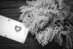 Mimoza kwiatu okwitnięcie odizolowywający na białym tle Obrazy Stock