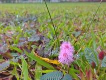 Mimoza kwiaty Obrazy Stock