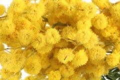 Mimoza kwiaty, makro- Zdjęcia Royalty Free
