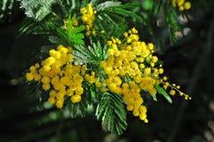 Mimoza kwitnie na zamazanym tle Zdjęcia Royalty Free
