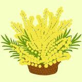Mimoza kwitnie w koszu Fotografia Stock