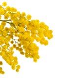 mimoza odosobniony biel Obraz Royalty Free