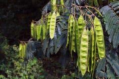 Mimozy drzewo Fotografia Stock