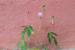 Mimozy pudica kwiat genus mimoza (impatiens) Obraz Stock