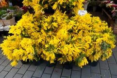 Mimozy w kwiaciarni Fotografia Royalty Free