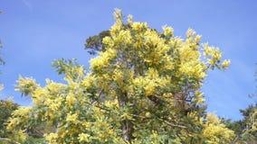 Mimozy wiosna Kwitnie Wielkanocnego t?o Kwitnąć mimozy drzewa przeciw niebieskiemu niebu 4k, zwolnione tempo zdjęcie wideo